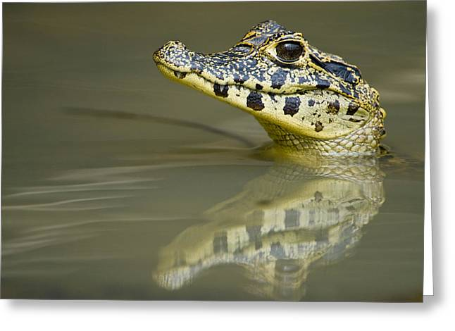 Head In The Water Greeting Cards - Close-up Of A Caiman In Lake, Pantanal Greeting Card by Panoramic Images