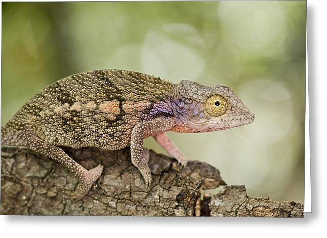Zoology Greeting Cards - Close-up Of A Chameleon On A Branch Greeting Card by Panoramic Images