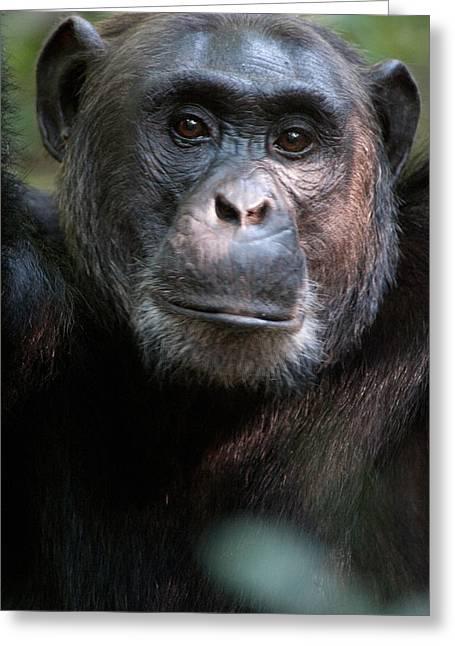 Uganda Greeting Cards - Close-up Of A Chimpanzee Pan Greeting Card by Panoramic Images