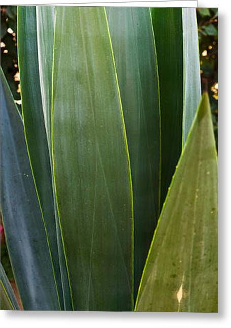 Baja California Greeting Cards - Close-up Of A Domestic Agave Plant Greeting Card by Panoramic Images