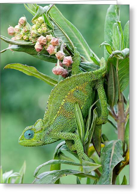 Dwarf Greeting Cards - Close-up Of A Dwarf Chameleon Brookesia Greeting Card by Panoramic Images
