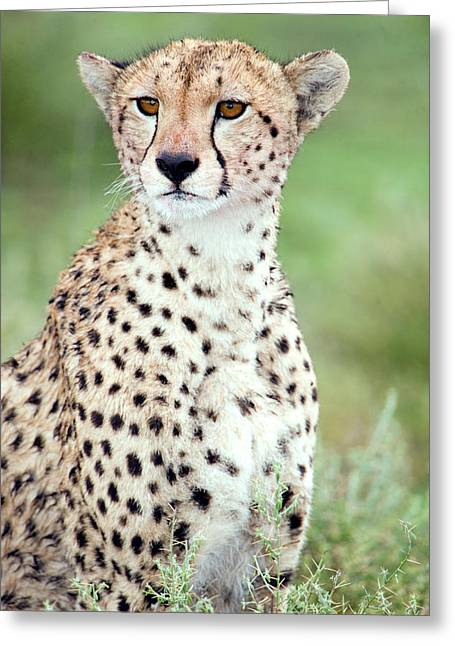 Female Animal Greeting Cards - Close-up Of A Female Cheetah Acinonyx Greeting Card by Panoramic Images