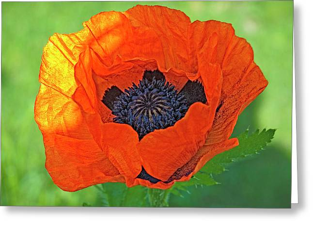 Close-up Of A Flowering Orange Poppy Greeting Card by Rona Schwarz