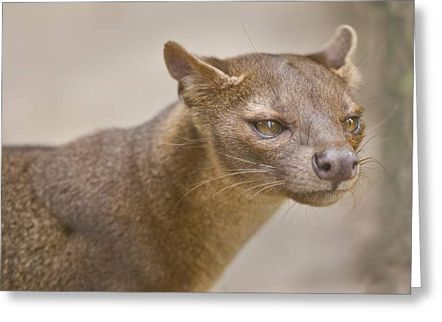 Close-up Of A Fossa Cryptoprocta Ferox Greeting Card by Panoramic Images