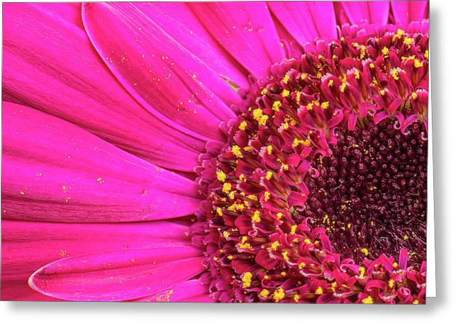 Close-up Of A Gerber Daisy Showing Greeting Card by Rona Schwarz