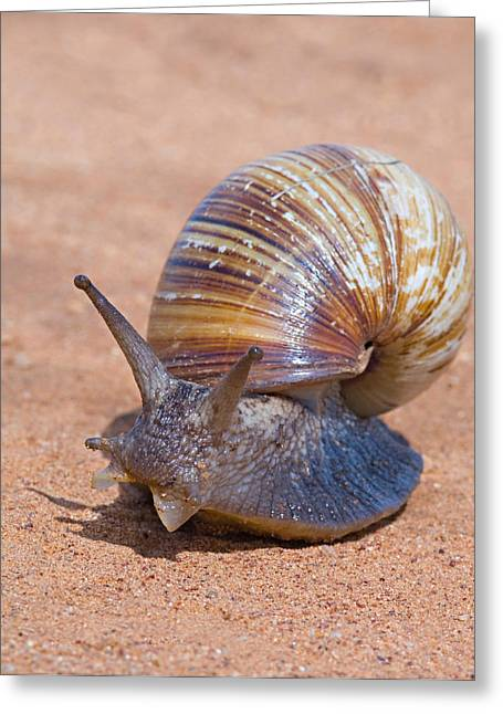 Close-up Of A Giant African Land Snail Greeting Card by Panoramic Images