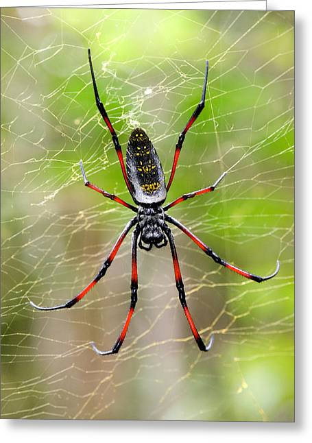 Invertebrates Photographs Greeting Cards - Close-up Of A Golden Silk Orb-weaver Greeting Card by Panoramic Images