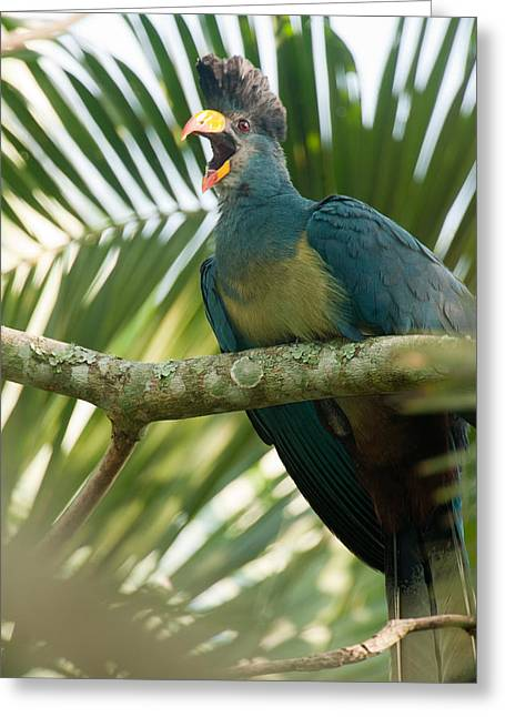 Great Birds Greeting Cards - Close-up Of A Great Blue Turaco Greeting Card by Panoramic Images