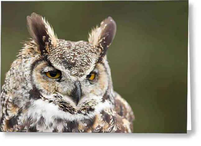 Great Birds Greeting Cards - Close-up Of A Great Horned Owl Bubo Greeting Card by Panoramic Images
