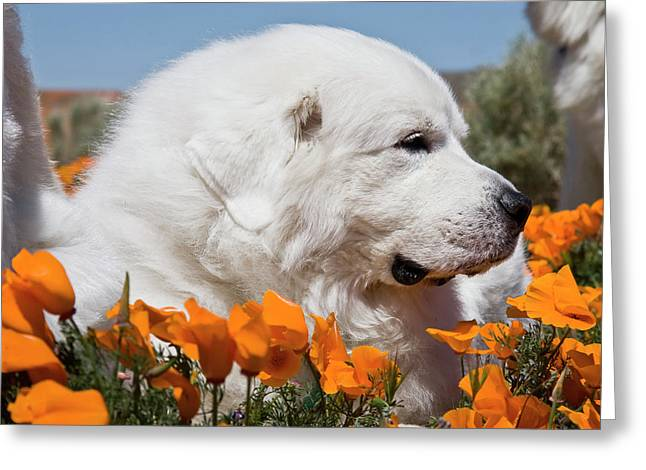Close-up Of A Great Pyrenees Lying Greeting Card by Zandria Muench Beraldo