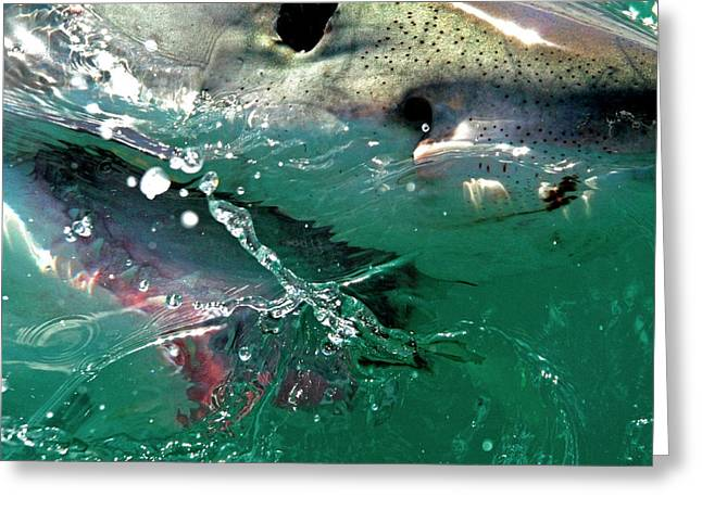 Close Up Of A Great White Shark Greeting Card by Miva Stock