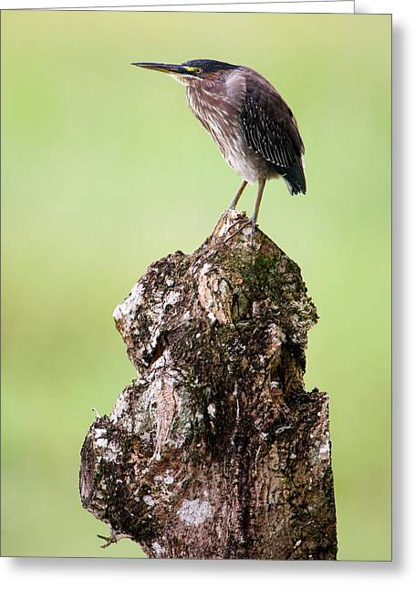 Bird On Tree Greeting Cards - Close-up Of A Green Heron Butorides Greeting Card by Panoramic Images