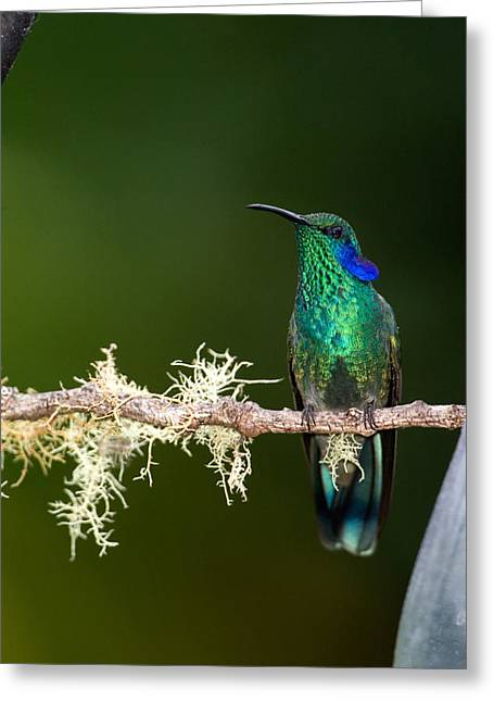 Costa Greeting Cards - Close-up Of A Green Violetear Greeting Card by Panoramic Images
