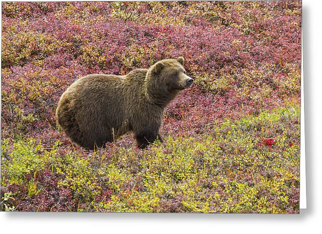 The North Greeting Cards - Close Up Of A Grizzly Bear Ursus Arctos Greeting Card by Lynn Wegener