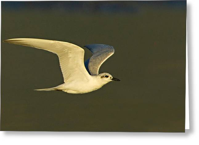 Tern Greeting Cards - Close-up Of A Gull-billed Tern Greeting Card by Panoramic Images