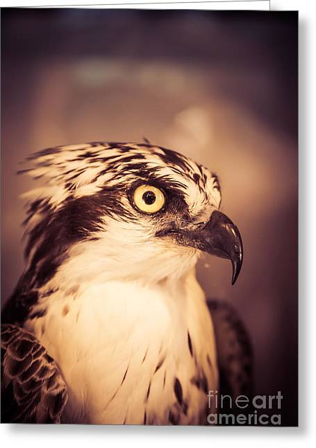 Flying Animal Greeting Cards - Close up of a hawk bird Greeting Card by Edward Fielding