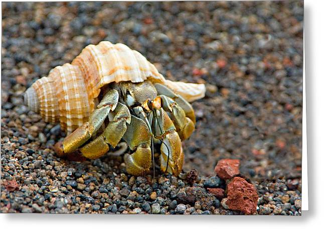 Hermit Greeting Cards - Close-up Of A Hermit Crab Coenobita Greeting Card by Panoramic Images