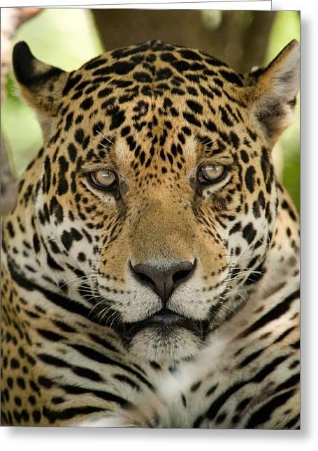Animal Faces Greeting Cards - Close-up Of A Jaguar Panthera Onca Greeting Card by Panoramic Images