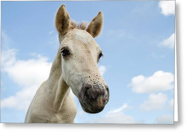 Equus Caballus Greeting Cards - Close up of a Konik horse foal  Greeting Card by Roeselien Raimond