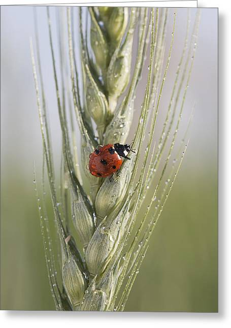 Close Up Of A Ladybug Coccinellidae On Greeting Card by Michael Interisano