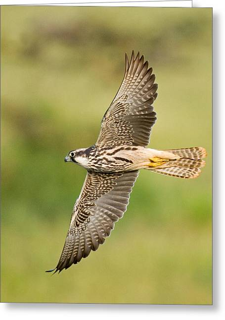 Spread Wings Greeting Cards - Close-up Of A Lanner Falcon Flying Greeting Card by Panoramic Images