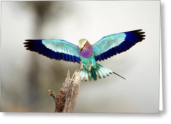 Spread Wings Greeting Cards - Close-up Of A Lilac-breasted Roller Greeting Card by Panoramic Images