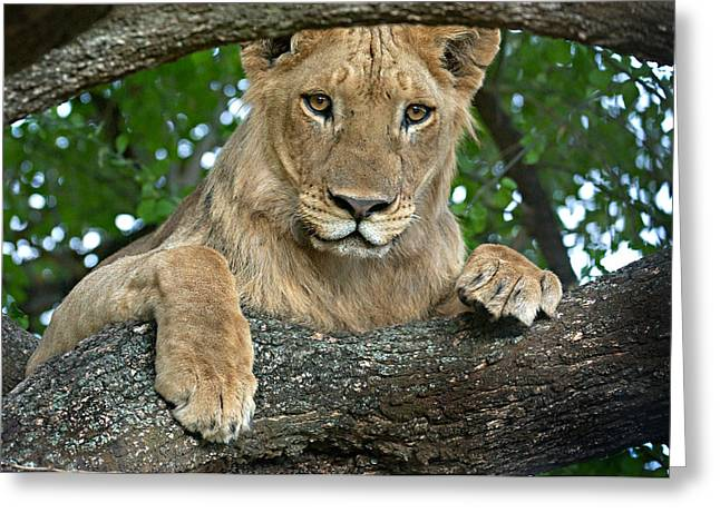 Lions Greeting Cards - Close-up Of A Lion, Lake Manyara Greeting Card by Panoramic Images
