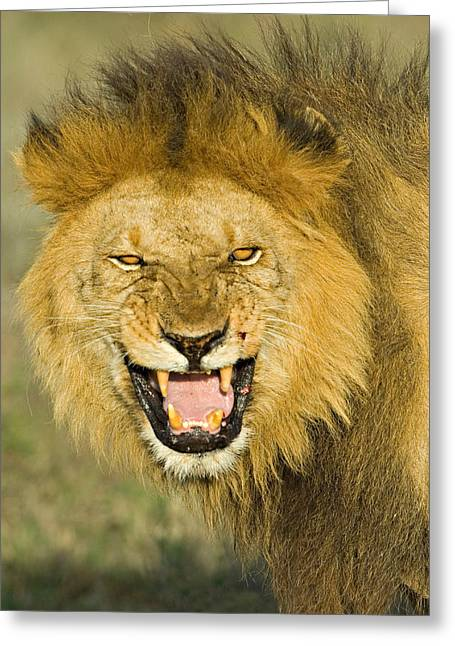 Urban Lion Greeting Cards - Close-up Of A Lion Roaring, Ngorongoro Greeting Card by Panoramic Images