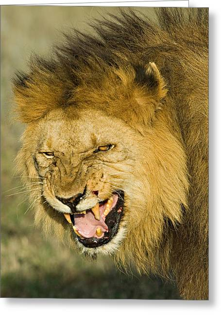 Urban Lion Greeting Cards - Close-up Of A Lion Snarling, Ngorongoro Greeting Card by Panoramic Images
