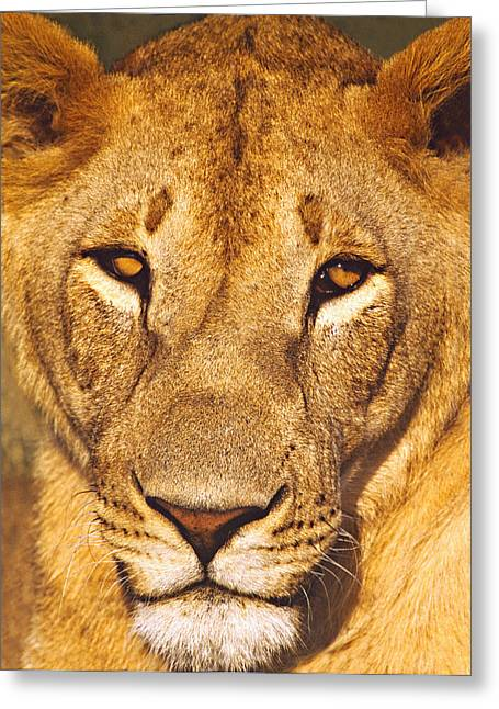 Lioness Greeting Cards - Close-up Of A Lioness, Tanzania Greeting Card by Panoramic Images