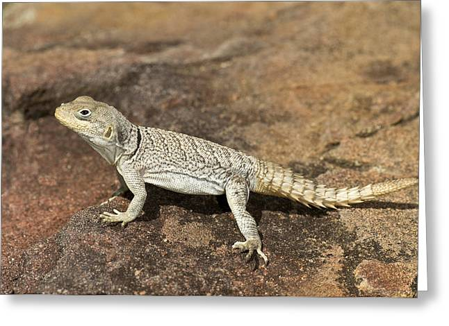 Zoology Greeting Cards - Close-up Of A Lizard Oplurus Cyclurus Greeting Card by Panoramic Images