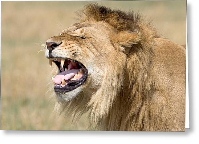 Animal Photography Greeting Cards - Close-up Of A Male Lion Roaring Greeting Card by Panoramic Images