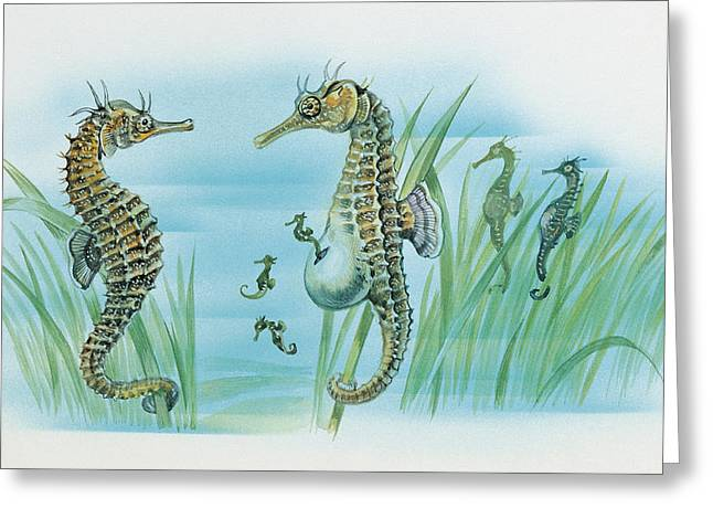 Fish Drawings Greeting Cards - Close-up of a male sea horse expelling young sea horses Greeting Card by English School