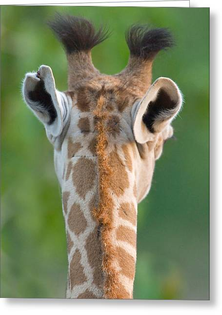 Behind The Scenes Photographs Greeting Cards - Close-up Of A Masai Giraffe, Lake Greeting Card by Panoramic Images
