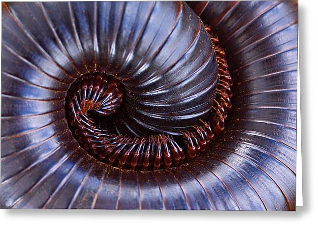 Geometric Animal Greeting Cards - Close-up Of A Millipede Curled Up Greeting Card by Panoramic Images
