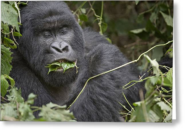 Animal Hair Greeting Cards - Close-up Of A Mountain Gorilla Gorilla Greeting Card by Panoramic Images