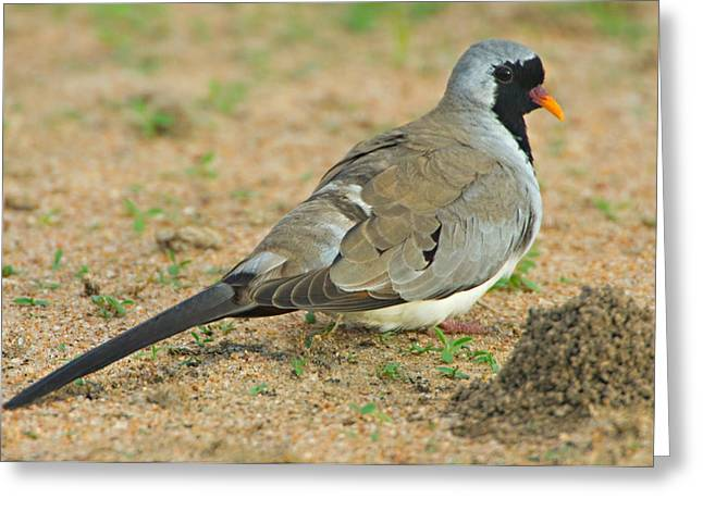 Pigeon In Park Greeting Cards - Close-up Of A Namaqua Dove, Tarangire Greeting Card by Panoramic Images