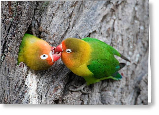 Close-up Of A Pair Of Lovebirds, Ndutu Greeting Card by Panoramic Images