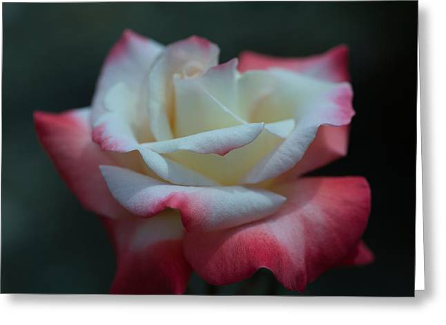 Variegated Greeting Cards - Close-up Of A Pink And White Rose, Los Greeting Card by Panoramic Images