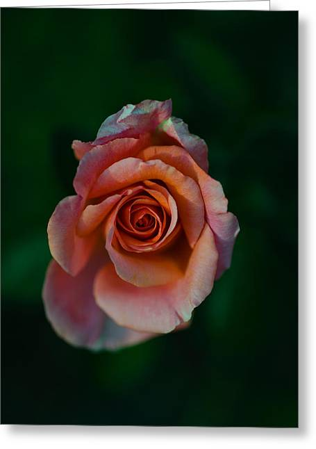 Flowers In California Greeting Cards - Close-up Of A Pink Rose, Beverly Hills Greeting Card by Panoramic Images