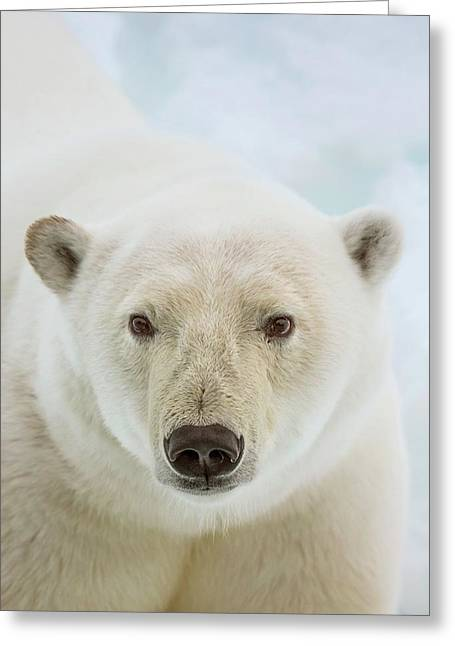 Close Up Of A Polar Bears Head Greeting Card by Peter J. Raymond