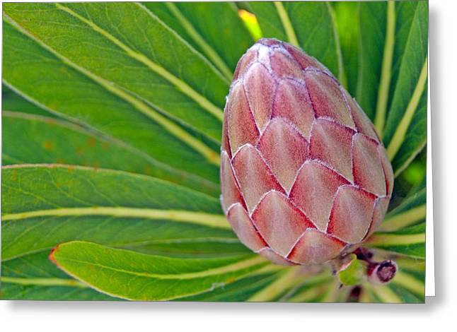 Close Up Of A Protea In Bud Greeting Card by Anonymous