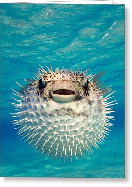 Close-up Of A Puffer Fish, Bahamas Greeting Card by Panoramic Images