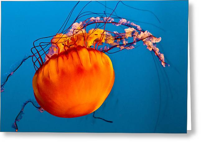 Jelly Fish Greeting Cards - Close up of a Sea Nettle jellyfis Greeting Card by Eti Reid