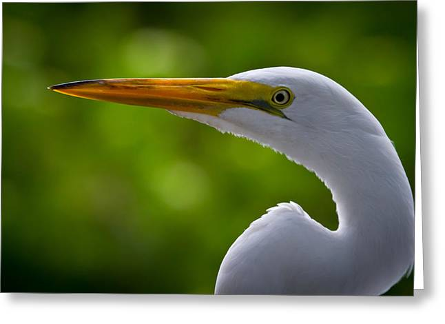 Florida Wildlife Greeting Cards - Close up of a Snowy Egret Greeting Card by Andres Leon