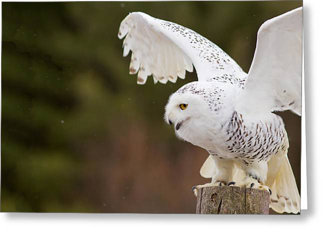 Snowy Day Greeting Cards - Close-up Of A Snowy Owl Bubo Scandiacus Greeting Card by Panoramic Images