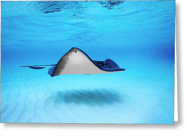 Southern Stingrays Greeting Cards - Close-up Of A Southern Stingray Greeting Card by Panoramic Images