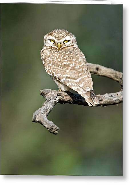 Owlets Greeting Cards - Close-up Of A Spotted Owlet Strix Greeting Card by Panoramic Images
