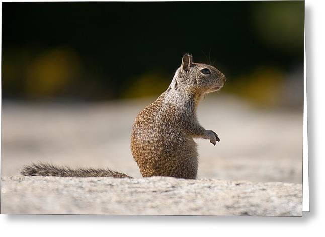 Sciurus Carolinensis Greeting Cards - Close-up of a squirrel Sciurus carolinensis Greeting Card by Celso Diniz