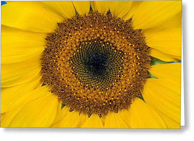 Stamen Greeting Cards - Close-up Of A Sunflower Helianthus Greeting Card by Panoramic Images